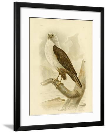 White-Breasted Sea Eagle, 1891-Gracius Broinowski-Framed Giclee Print