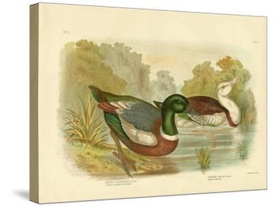 Chestnut-Colored Shieldrake or Australian Shelduck, 1891-Gracius Broinowski-Stretched Canvas Print