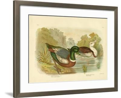 Chestnut-Colored Shieldrake or Australian Shelduck, 1891-Gracius Broinowski-Framed Giclee Print