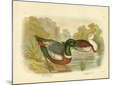 Chestnut-Colored Shieldrake or Australian Shelduck, 1891-Gracius Broinowski-Mounted Giclee Print