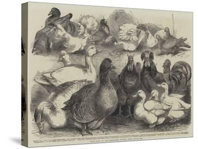 Prize Birds at the Birmingham Poultry Show-Harrison William Weir-Stretched Canvas Print