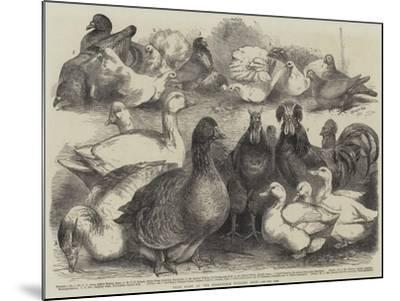 Prize Birds at the Birmingham Poultry Show-Harrison William Weir-Mounted Giclee Print