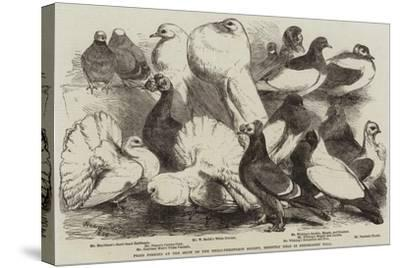 Prize Pigeons at the Show of the Philo-Peristeron Society, Recently Held in Freemasons' Hall-Harrison William Weir-Stretched Canvas Print