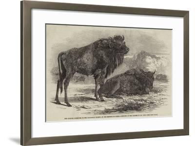 The Aurochs Presented to the Zoological Society, by the Emperor of Russia-Harrison William Weir-Framed Giclee Print