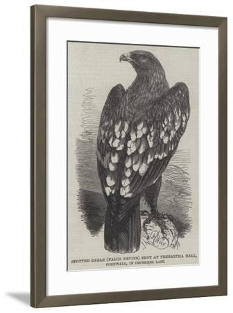 Spotted Eagle (Falco Nevius) Shot at Trebartha Hall, Cornwall, in December Last-Harrison William Weir-Framed Giclee Print