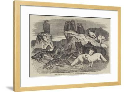 Arctic Foxes and Birds, Just Received by the Zoological Society-Harrison William Weir-Framed Giclee Print