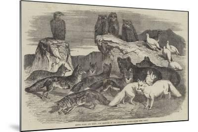 Arctic Foxes and Birds, Just Received by the Zoological Society-Harrison William Weir-Mounted Giclee Print