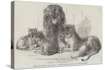Family of Lions in the Gardens of the Clifton and Bristol Zoological Society-Harrison William Weir-Stretched Canvas Print