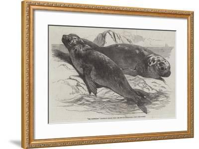 Sea Elephants (Elephant Seals), from the Isle of Desolation-Harrison William Weir-Framed Giclee Print