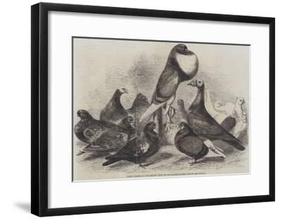 Prize Pigeons at the Recent Show of the Halifax Fancy Pigeon Association-Harrison William Weir-Framed Giclee Print