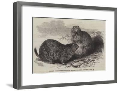 Prairie Dogs in the Zoological Society's Gardens, Regent's Park-Harrison William Weir-Framed Giclee Print