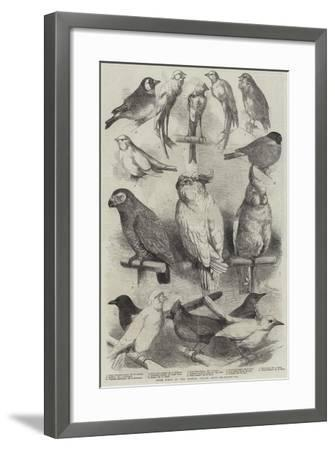 Prize Birds at the Crystal Palace Show-Harrison William Weir-Framed Giclee Print