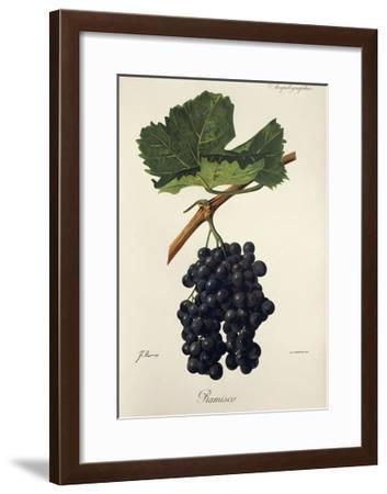 Ramisco Grape-J. Troncy-Framed Giclee Print