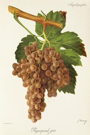 Piquepoul Gris Grape-J. Troncy-Stretched Canvas Print