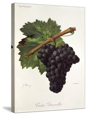 Tinto Amarella Grape-J. Troncy-Stretched Canvas Print