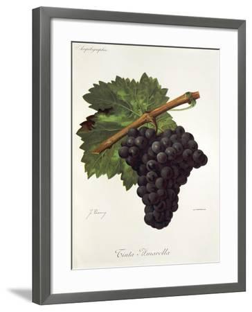 Tinto Amarella Grape-J. Troncy-Framed Giclee Print
