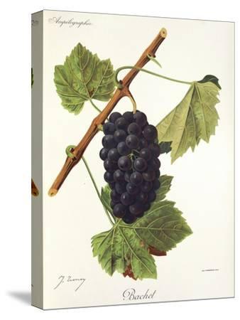 Bachet Grape-J. Troncy-Stretched Canvas Print