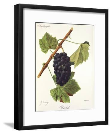 Bachet Grape-J. Troncy-Framed Giclee Print