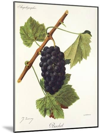 Bachet Grape-J. Troncy-Mounted Giclee Print