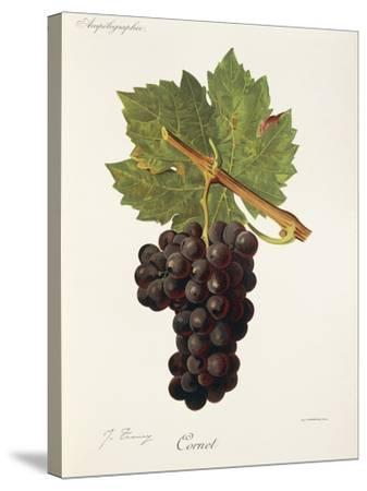 Cornet Grape-J. Troncy-Stretched Canvas Print