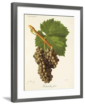 Grenache Gris Grape-J. Troncy-Framed Giclee Print