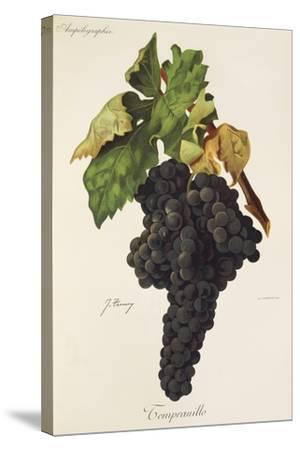 Tempranillo Grape-J. Troncy-Stretched Canvas Print