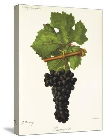Carmenere Grape-J. Troncy-Stretched Canvas Print