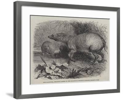 The Babirussa, Recently Added to the Zoological Society's Gardens, Regent's Park-Johann Baptist Zwecker-Framed Giclee Print