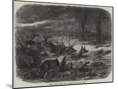 Animals Taking Refuge from a Prairie Fire-Johann Baptist Zwecker-Mounted Giclee Print