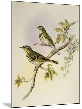 Indian Tree-Pipit (Pipastes Agilis)-John Gould-Mounted Giclee Print