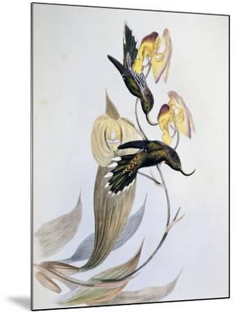 White-Tipped Sicklebill (Eutoxeres Aquila)-John Gould-Mounted Giclee Print