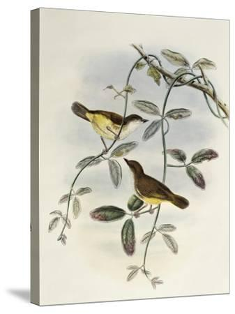 Yellow-Bellied Gerygone (Gerygone Chrysogaster)-John Gould-Stretched Canvas Print