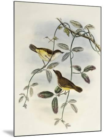 Yellow-Bellied Gerygone (Gerygone Chrysogaster)-John Gould-Mounted Giclee Print