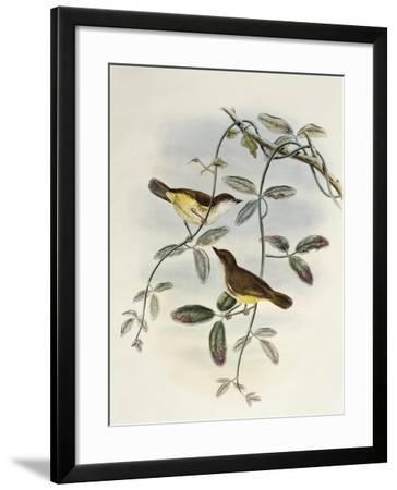Yellow-Bellied Gerygone (Gerygone Chrysogaster)-John Gould-Framed Giclee Print