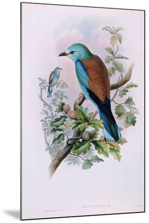 European Roller; Coracias Garrula, 1862-1873 (Hand-Finished Colour Lithograph)-John Gould-Mounted Giclee Print