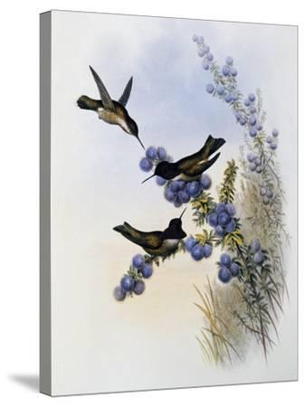 Anna's Hummingbird (Calypte Anna)-John Gould-Stretched Canvas Print