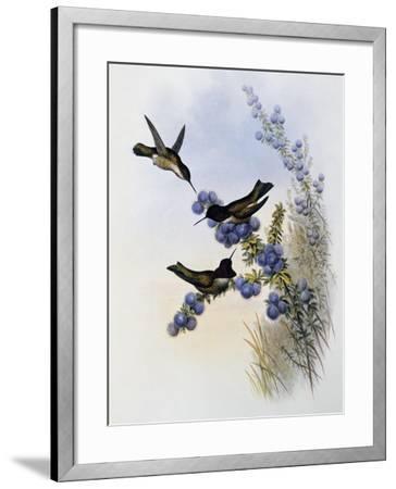 Anna's Hummingbird (Calypte Anna)-John Gould-Framed Giclee Print