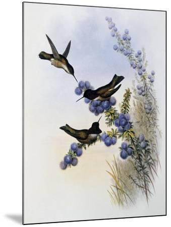 Anna's Hummingbird (Calypte Anna)-John Gould-Mounted Giclee Print