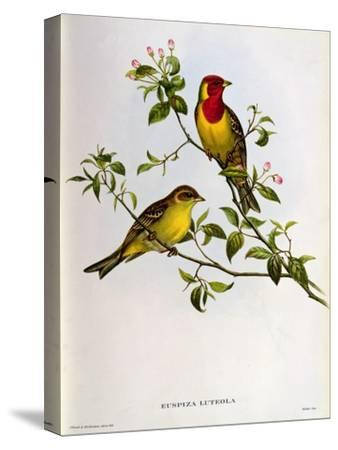 Euspiza Luteola, 19th Century-John Gould-Stretched Canvas Print