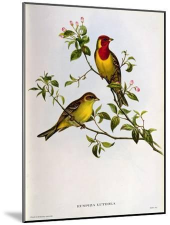 Euspiza Luteola, 19th Century-John Gould-Mounted Giclee Print
