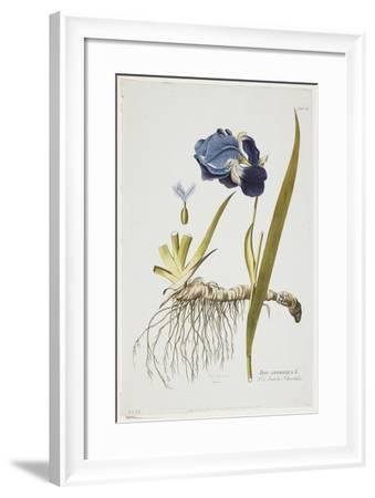 Iris Germanica, from Icones Plantarum Medicinalium, 1788-1812-Joseph Jacob Plenck-Framed Giclee Print