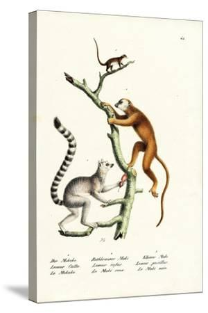 Ring-Tailed Lemur, 1824-Karl Joseph Brodtmann-Stretched Canvas Print
