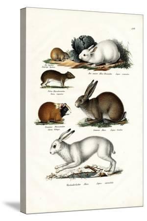 Ogotona Hare, 1824-Karl Joseph Brodtmann-Stretched Canvas Print