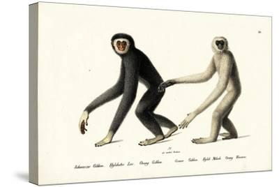 White-Handed Gibbon, 1824-Karl Joseph Brodtmann-Stretched Canvas Print