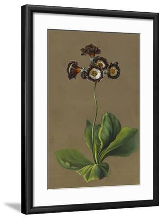 Hybrid Auricula, 1830-Louise D'Orleans-Framed Giclee Print