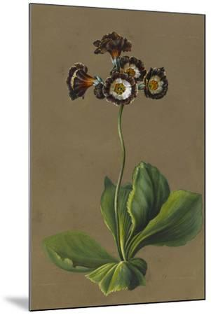 Hybrid Auricula, 1830-Louise D'Orleans-Mounted Giclee Print