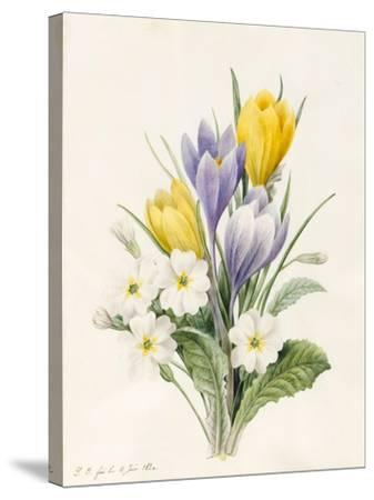 White Primroses and Early Hybrid Crocuses, 1830-Louise D'Orleans-Stretched Canvas Print