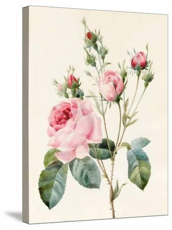 Pink Rose and Buds, 1832-Louise D'Orleans-Stretched Canvas Print