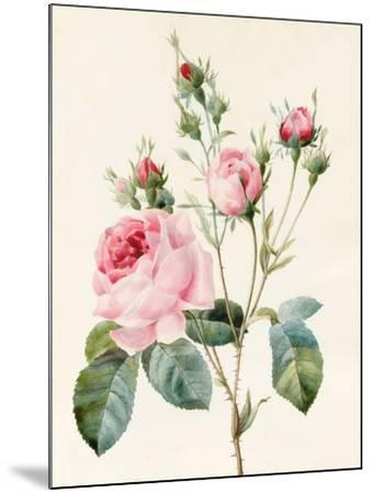 Pink Rose and Buds, 1832-Louise D'Orleans-Mounted Giclee Print