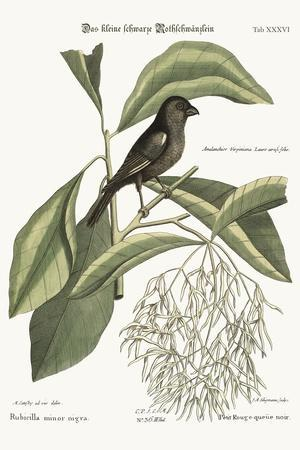 The Little Black Bullfinch, 1749-73-Mark Catesby-Stretched Canvas Print